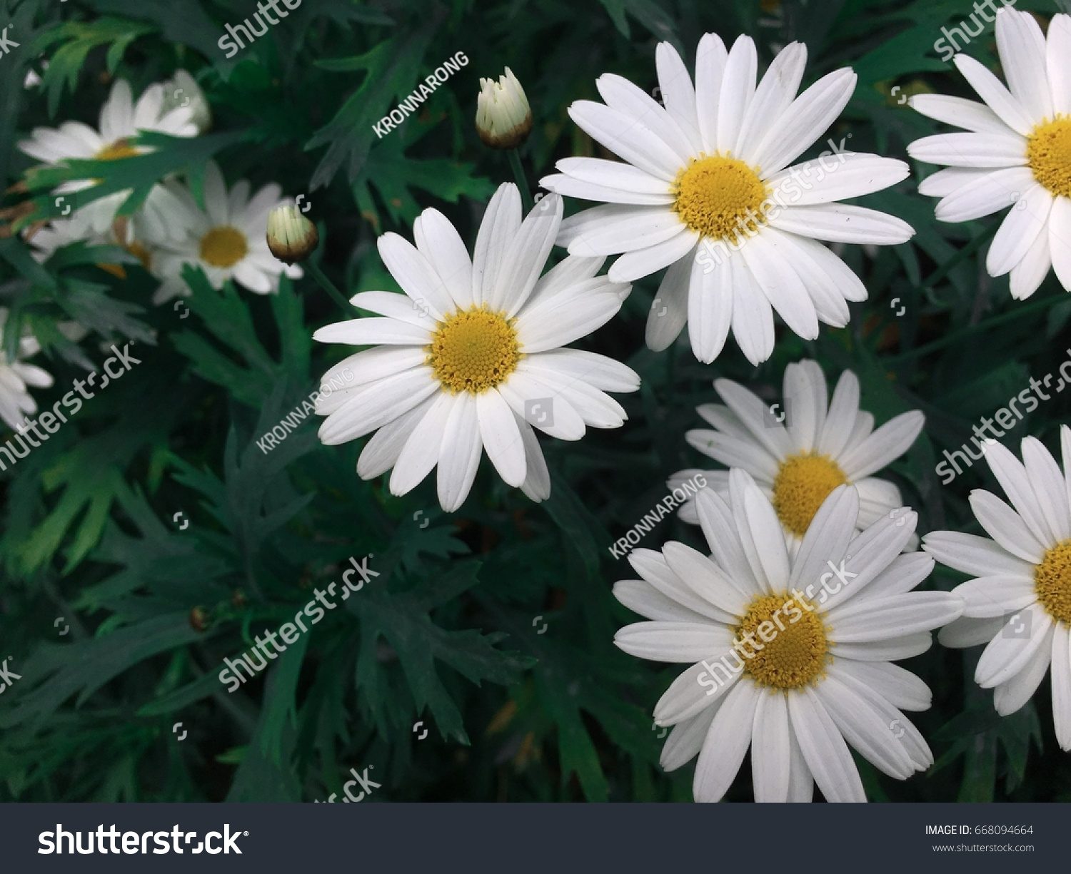 White Flowers Aster Stock Photo Royalty Free 668094664 Shutterstock