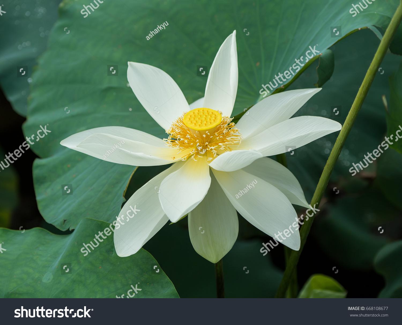 White lotus flower pond stock photo edit now shutterstock white lotus flower in pond izmirmasajfo