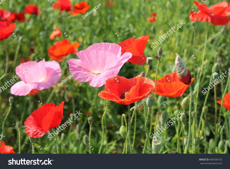 Many Beautiful Poppy Flowers Korea Stock Photo Edit Now 668186155