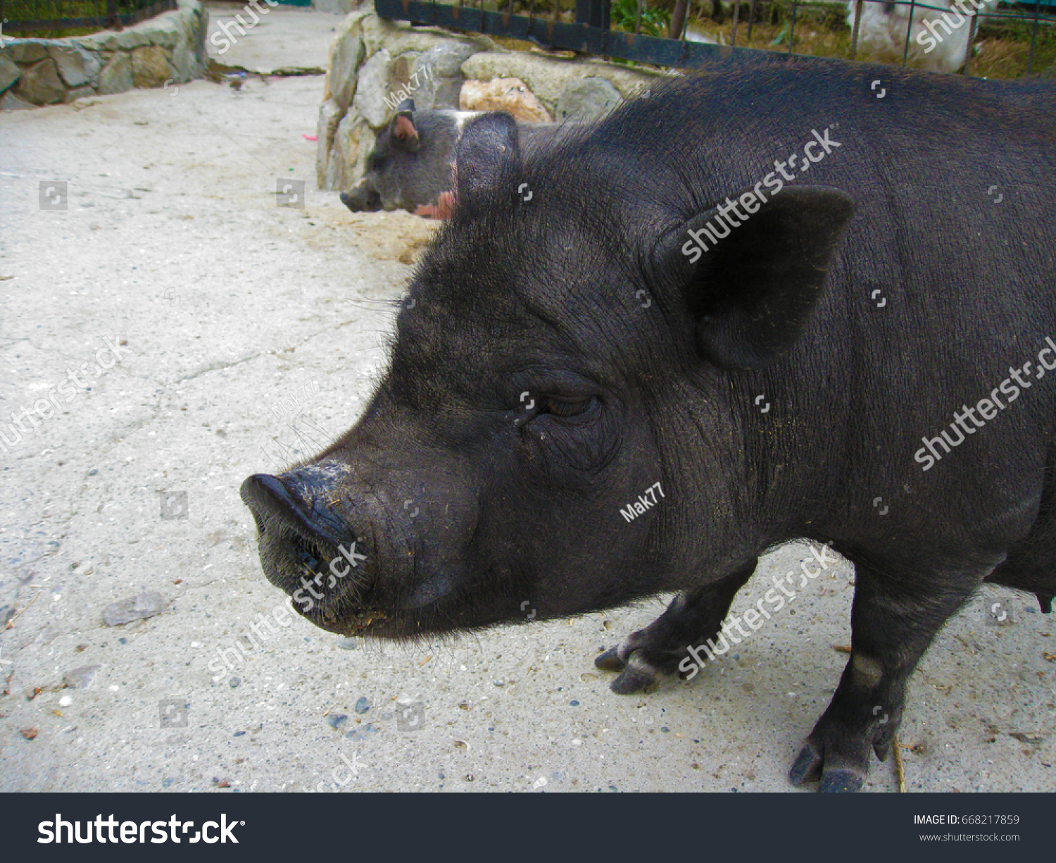 Cute Black Boar Nice Eyelashes Snout Stock Photo Edit Now