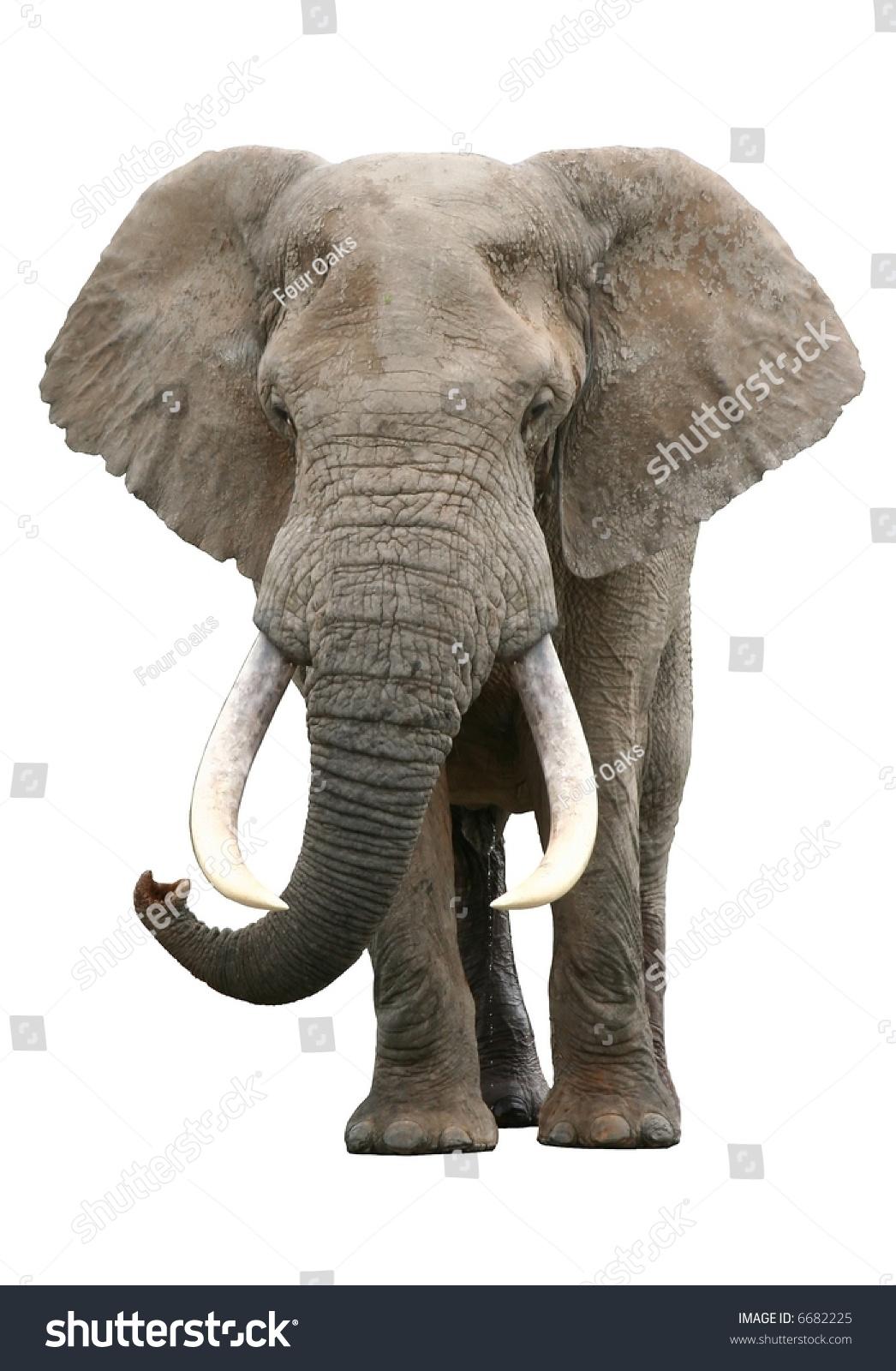 A large elephant bull with enormous tusks isolated on white background stock photo 6682225 - Image elephant ...
