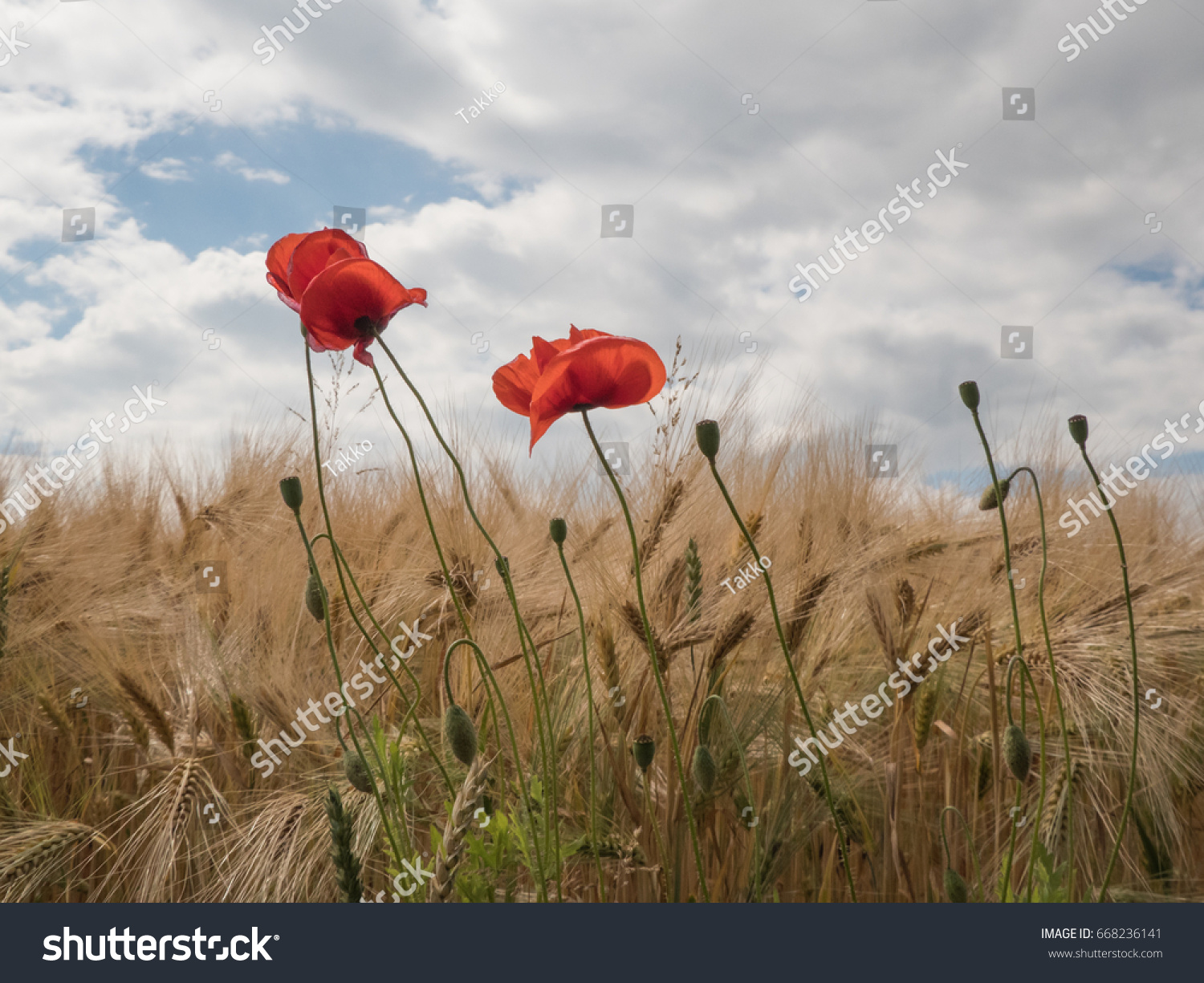 Poppies On The Border Of A Field With Cloudy Sky Poppy Flower Ez