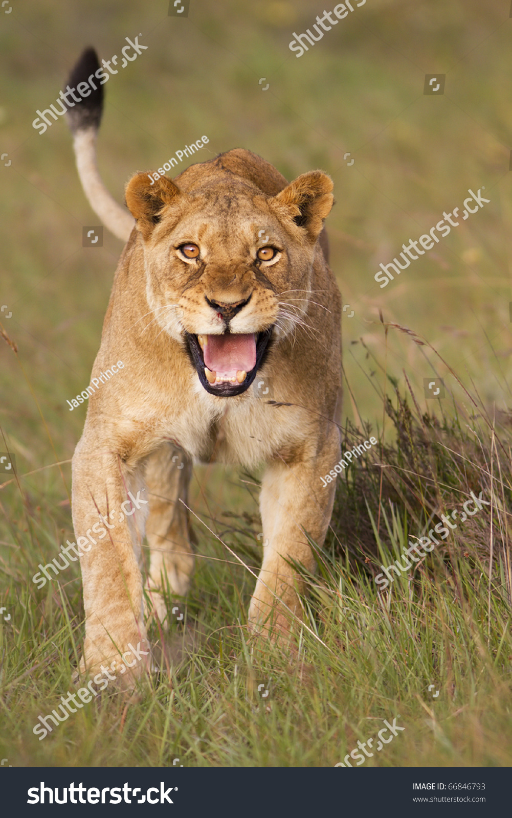 angry lioness - photo #45