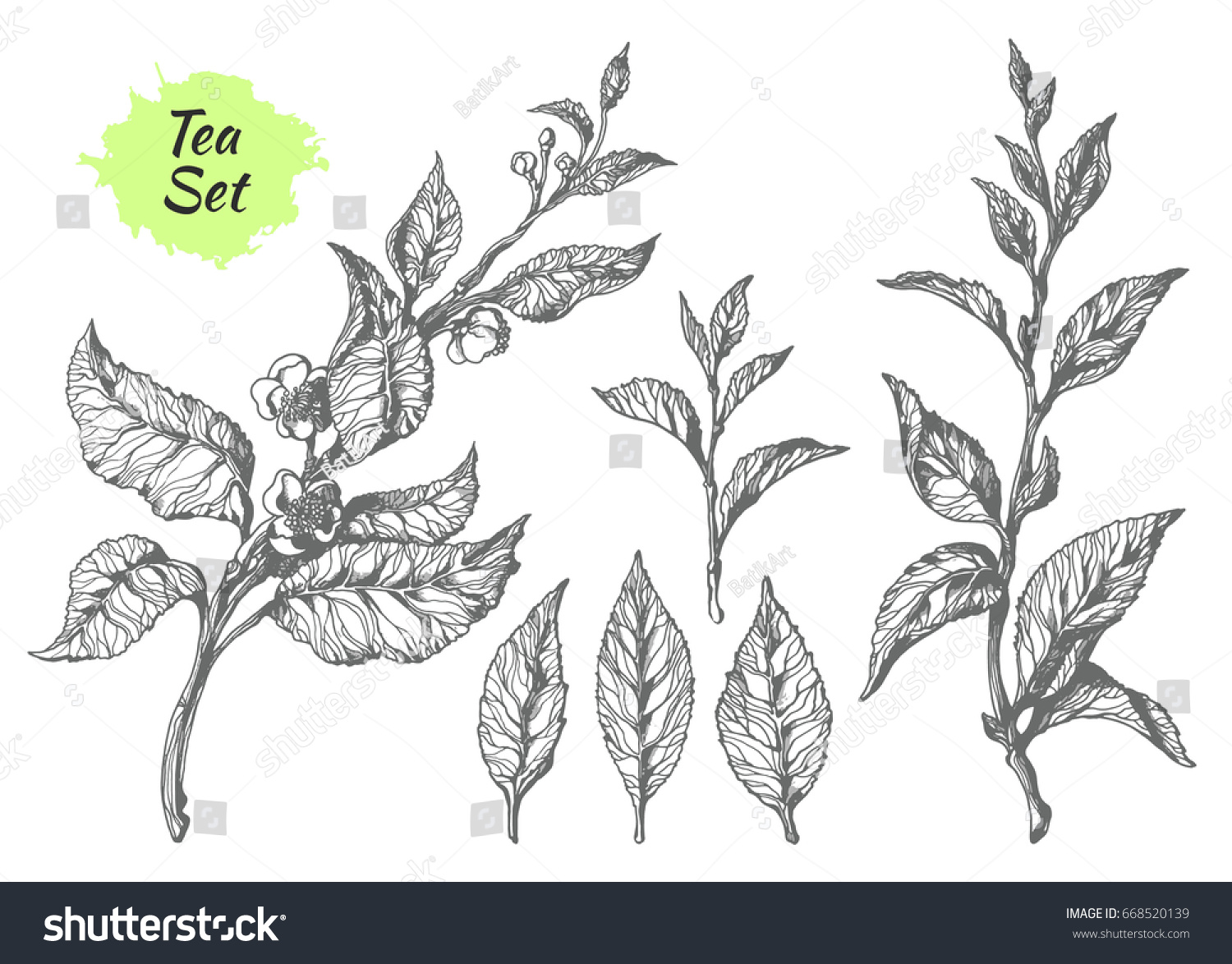 Set Of Tea Bush Branches With Leaves And Flowers Botanical Drawing Sketch Hatching