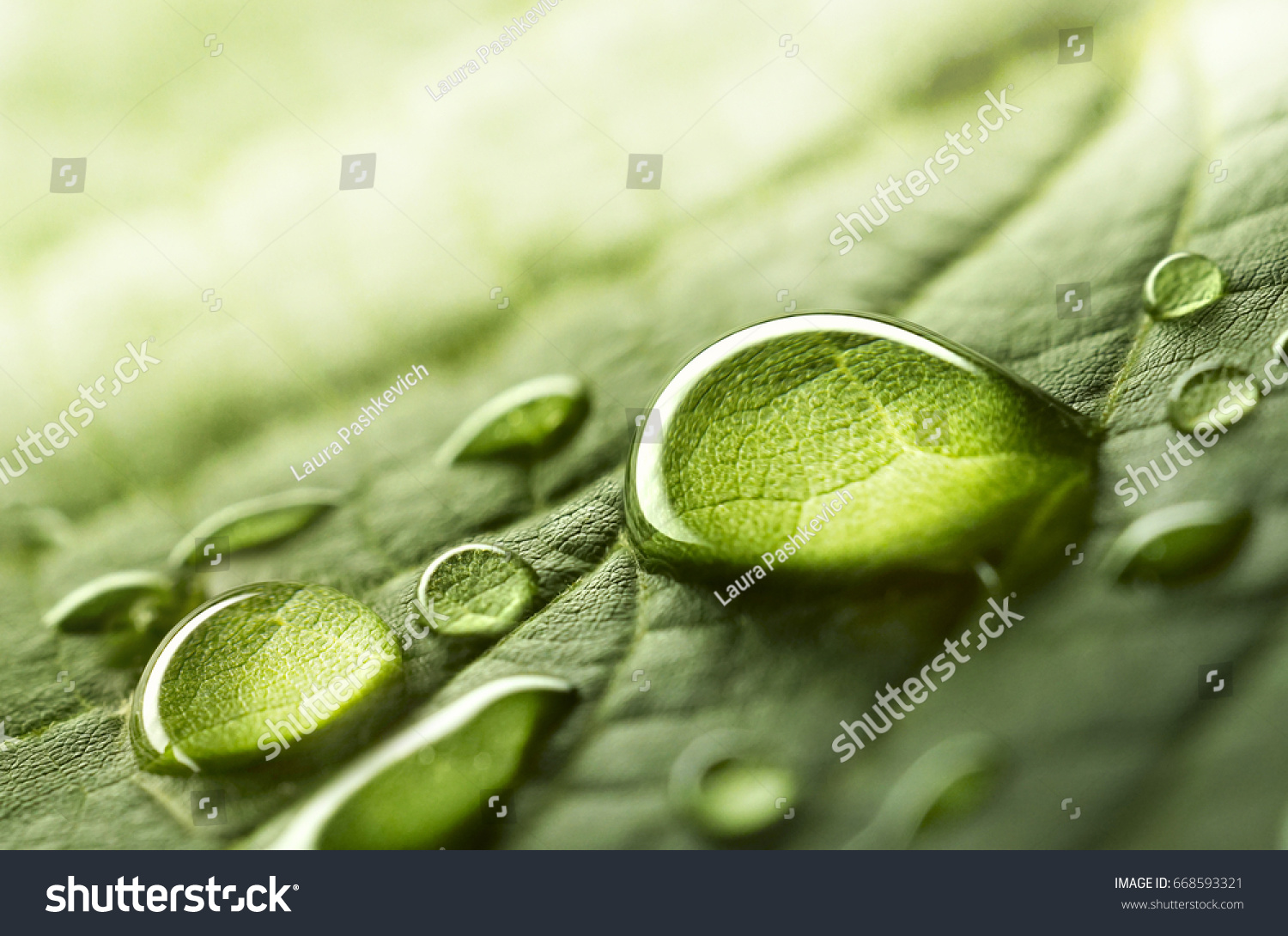 Large beautiful drops of transparent rain water on a green leaf macro. Drops of dew in the morning glow in the sun. Beautiful leaf texture in nature. Natural background. #668593321 - 123PhotoFree.com