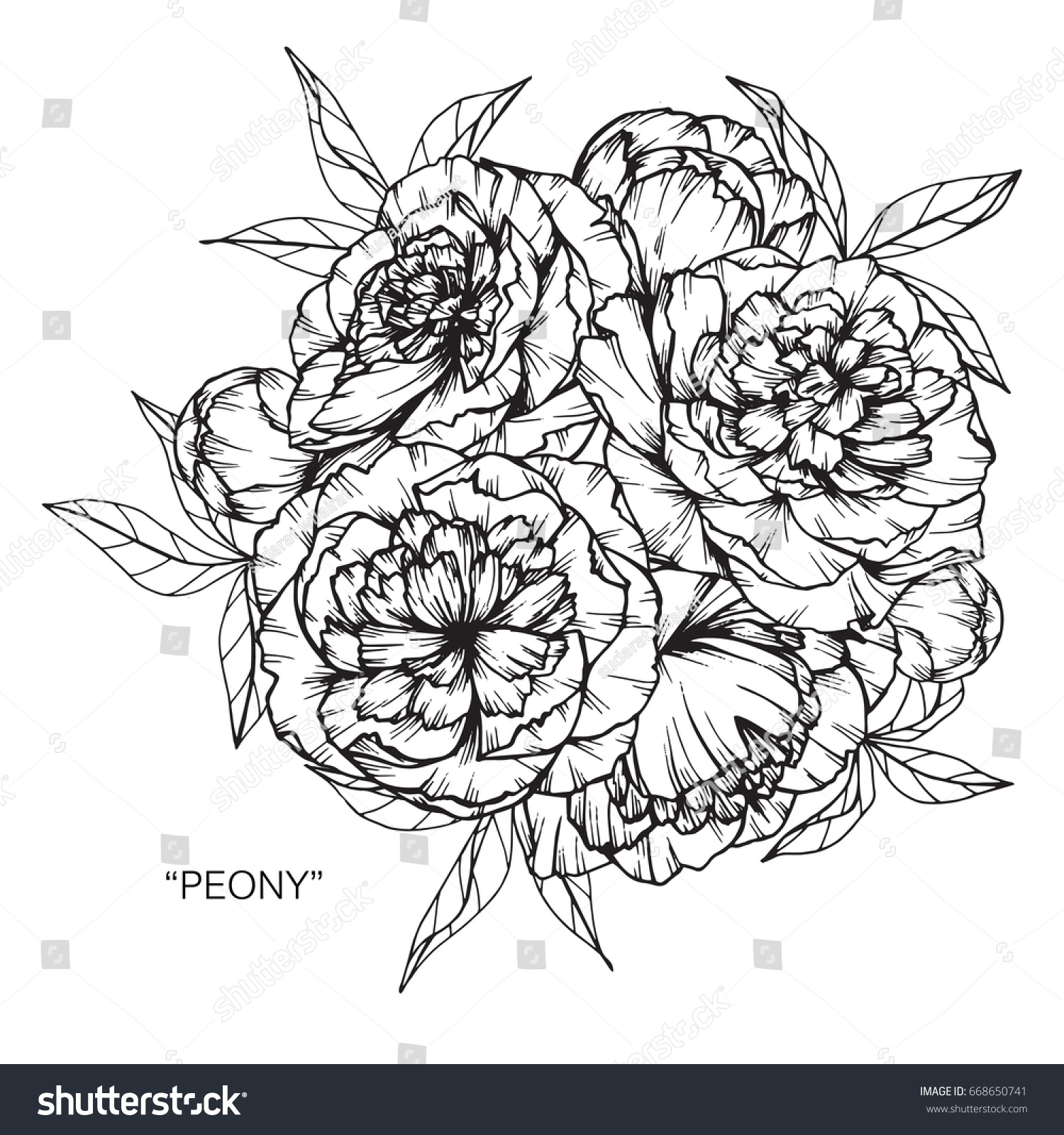Bouquet Of Peony Flowers Drawing And Sketch With Line Art On White
