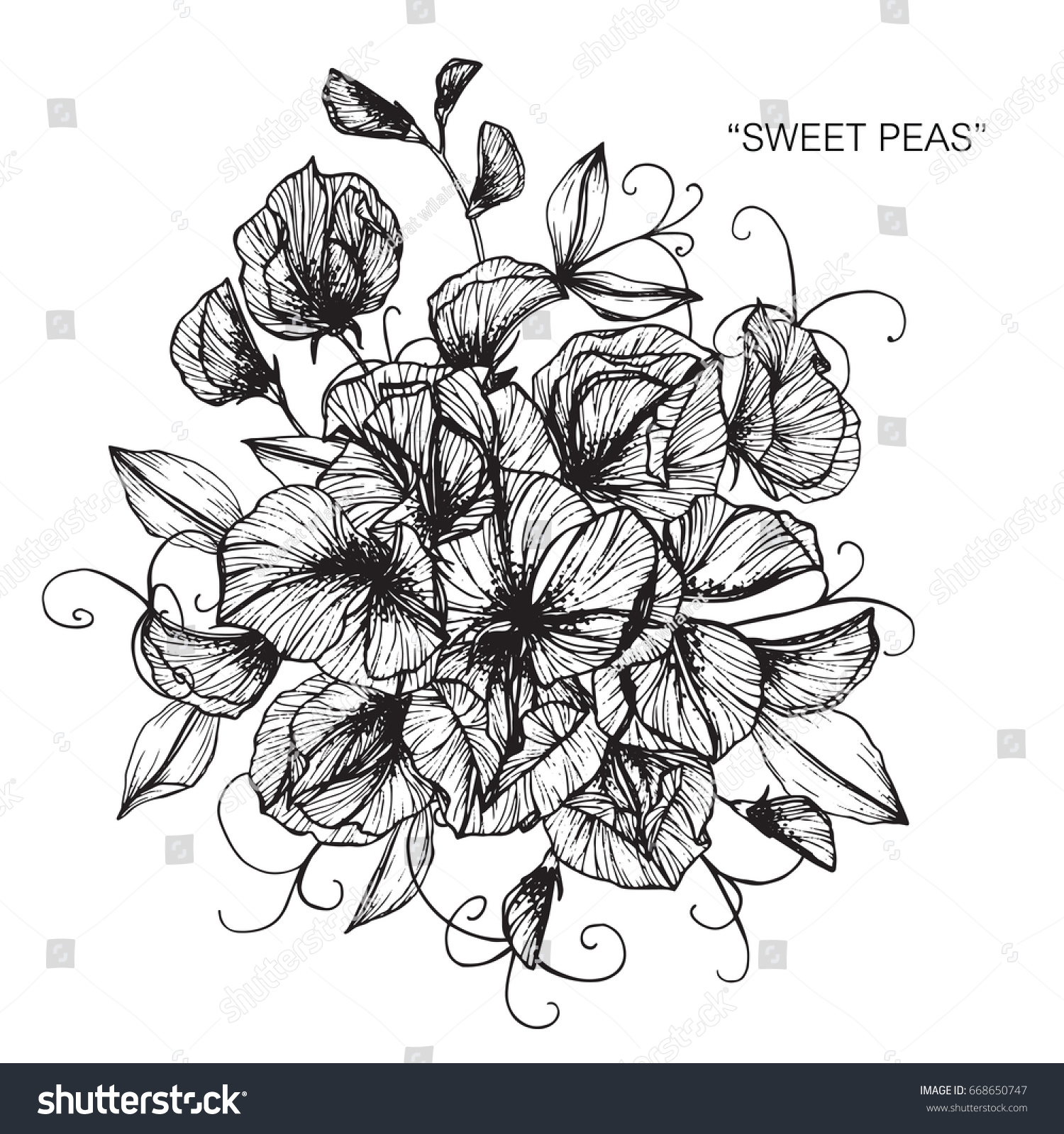Bouquet sweet peas flowers drawing sketch stock vector royalty free bouquet of sweet peas flowers drawing and sketch with line art on white backgrounds izmirmasajfo