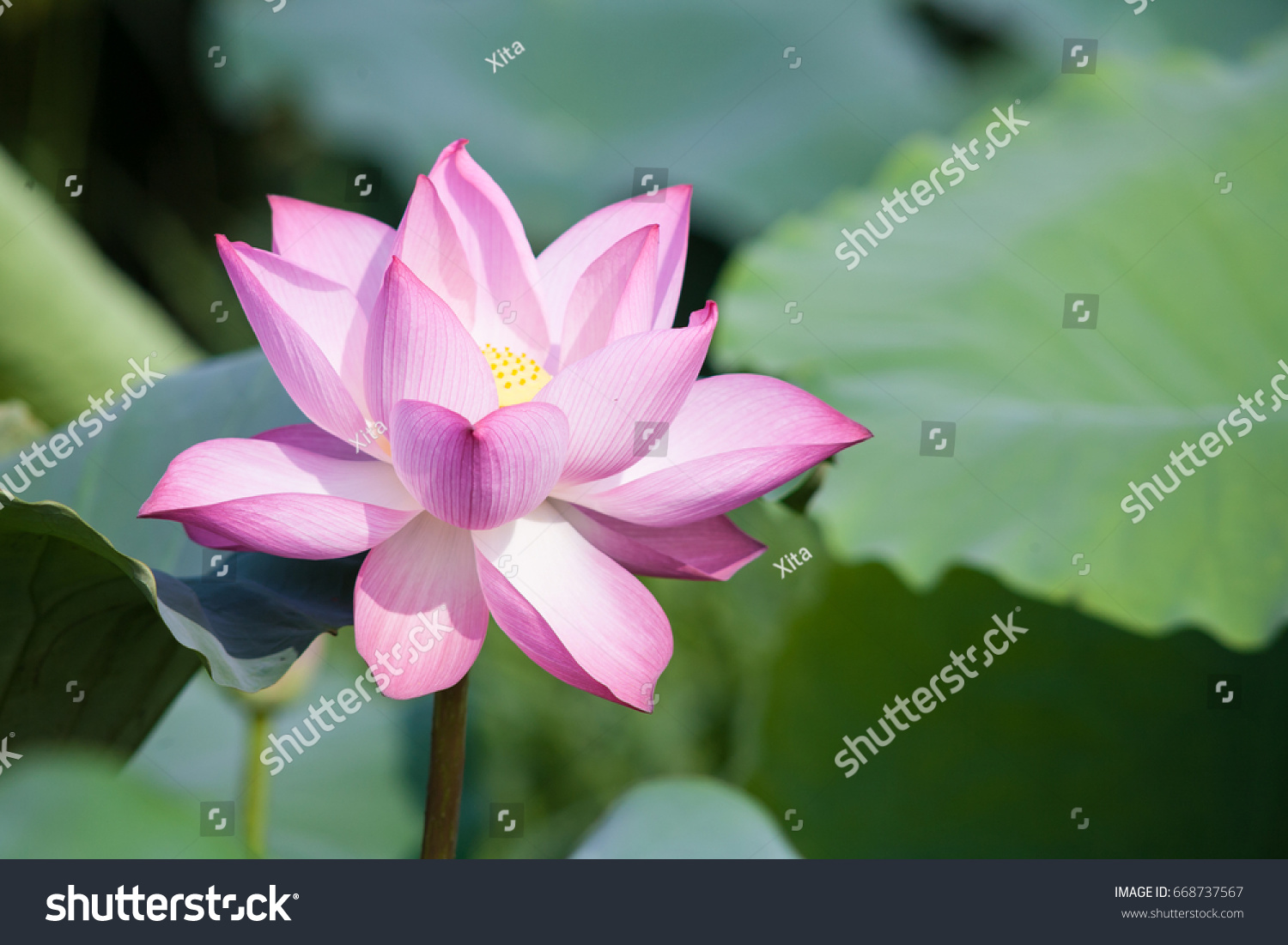 Beautiful lotus flower background lotus flower stock photo 668737567 beautiful lotus flower background lotus flower is the symbol of the buddha natural background izmirmasajfo Images