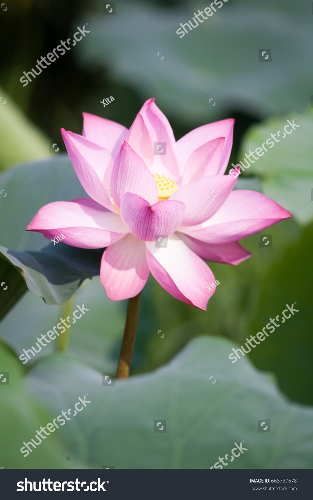 Beautiful lotus flower background lotus flower stock photo 668737678 beautiful lotus flower background lotus flower is the symbol of the buddha natural background izmirmasajfo Images