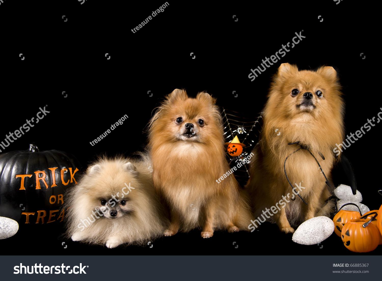 pomeranian dogs on black background on stock photo (edit now