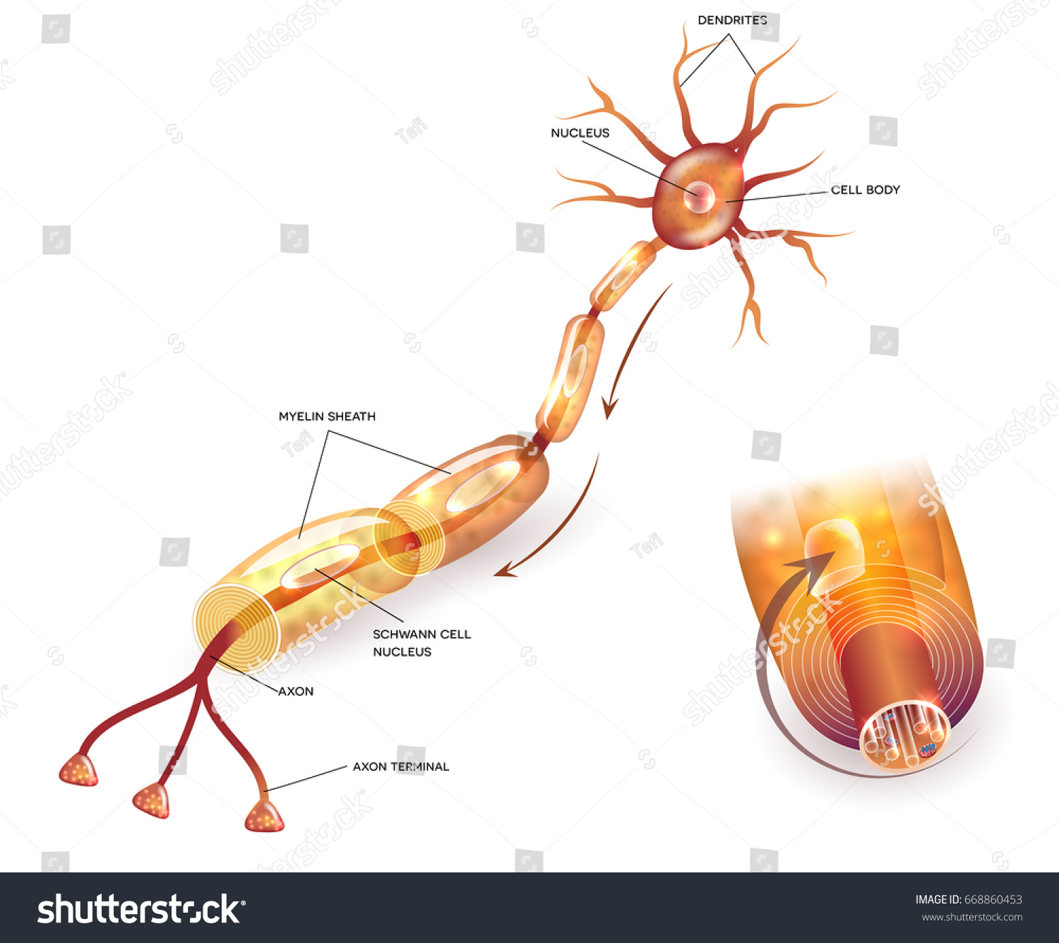 Nerve cell anatomy