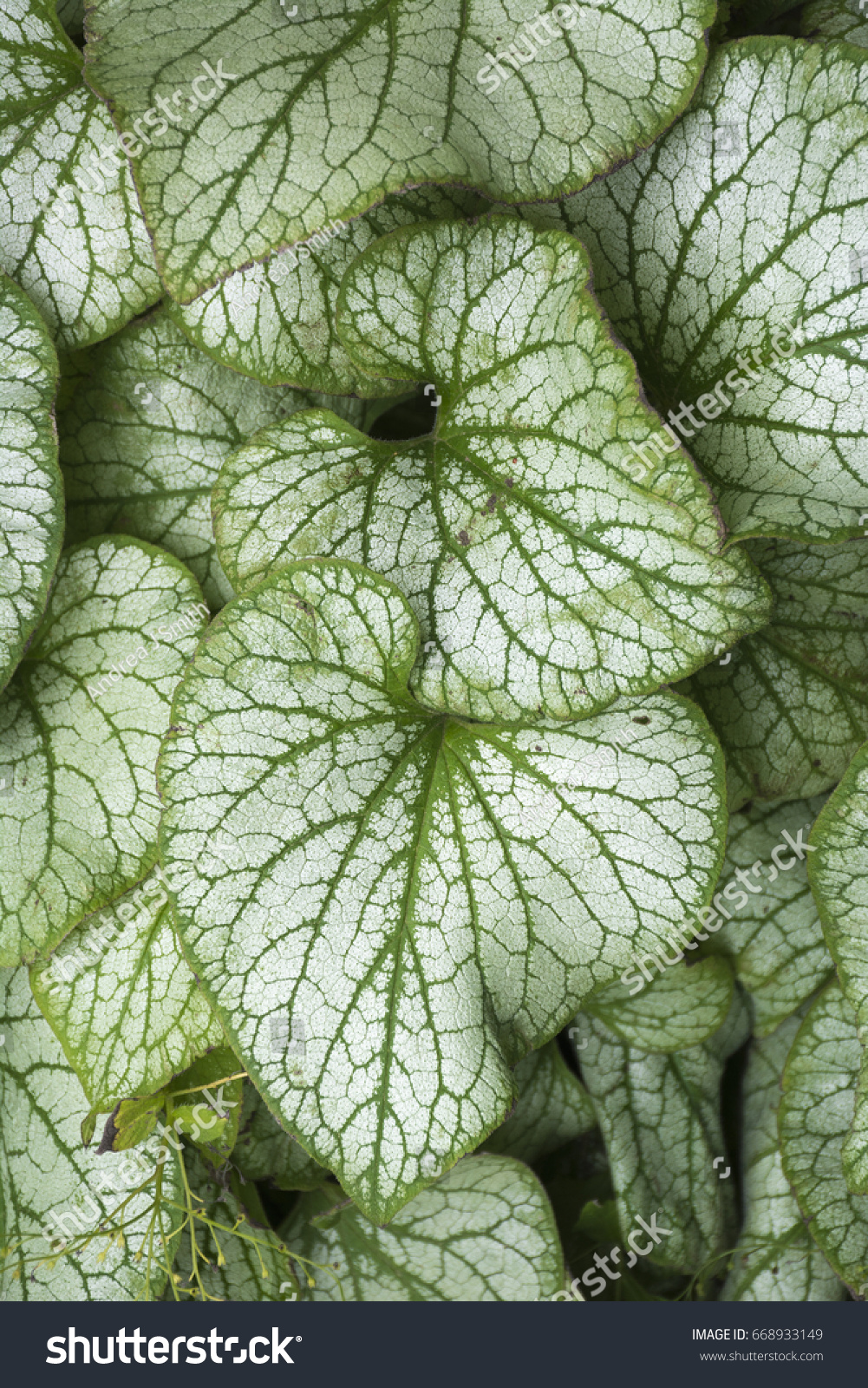 Closeup Leaves Brunnera Macrophylla Jack Frost Stock Photo Edit Now