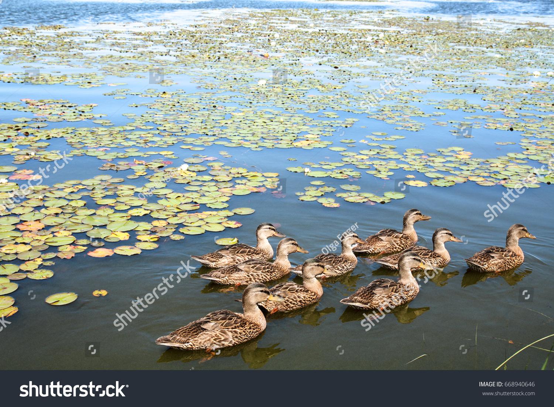 flock ducks swimming together pond among stock photo 668940646