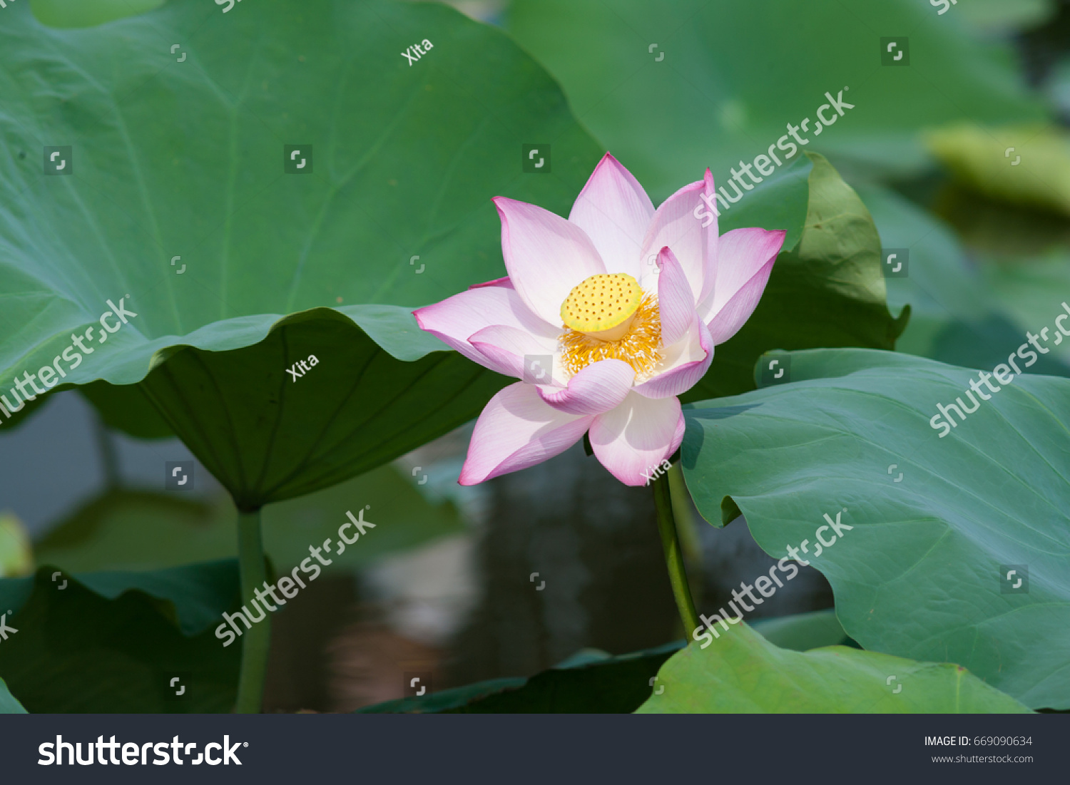 Beautiful Lotus Flower Background Natural Background Stock Photo
