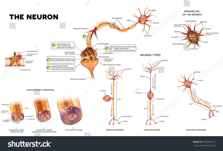 Neuron Detailed Anatomy Illustrations Neuron Types Stock