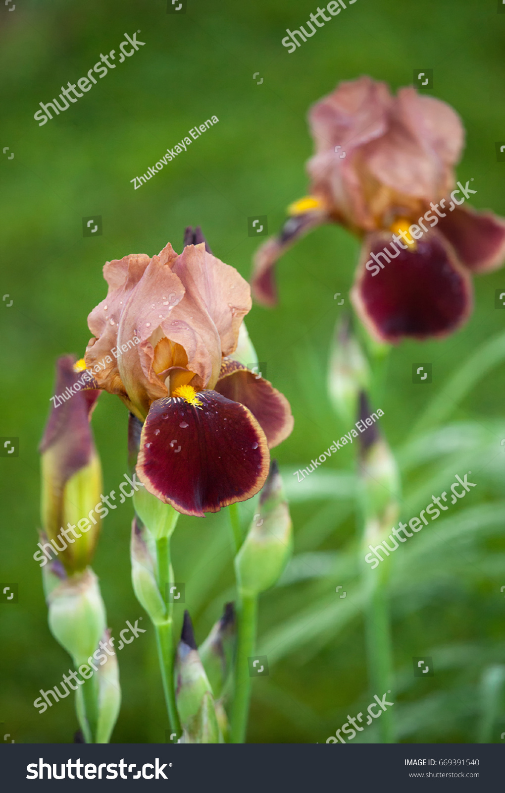 Iris portrait on natural green grass stock photo royalty free iris portrait on a natural green grass background the flower of the iris is red izmirmasajfo Choice Image