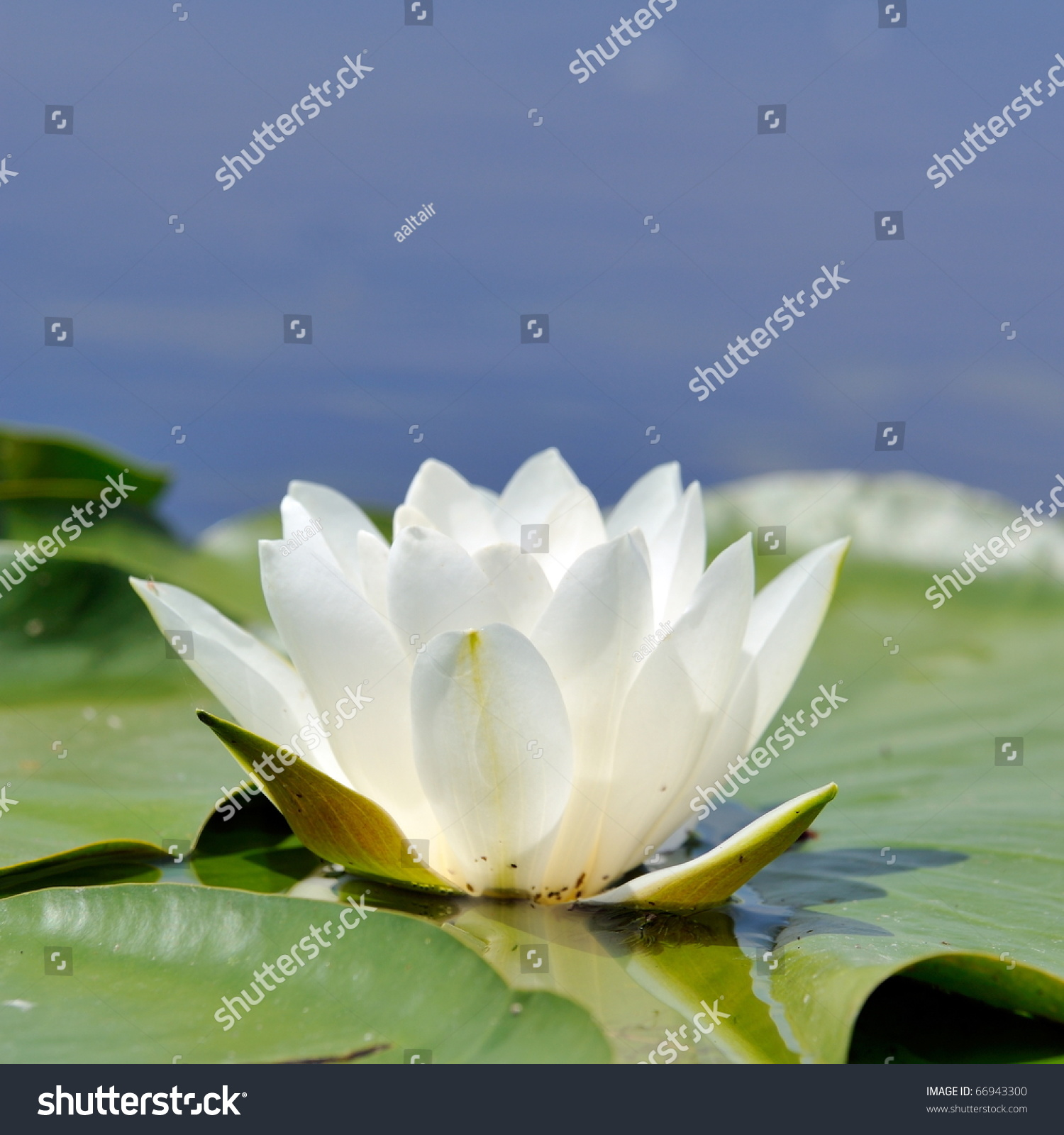 White Water Lily On Lake Nymphaea Royalty Free Stock Image