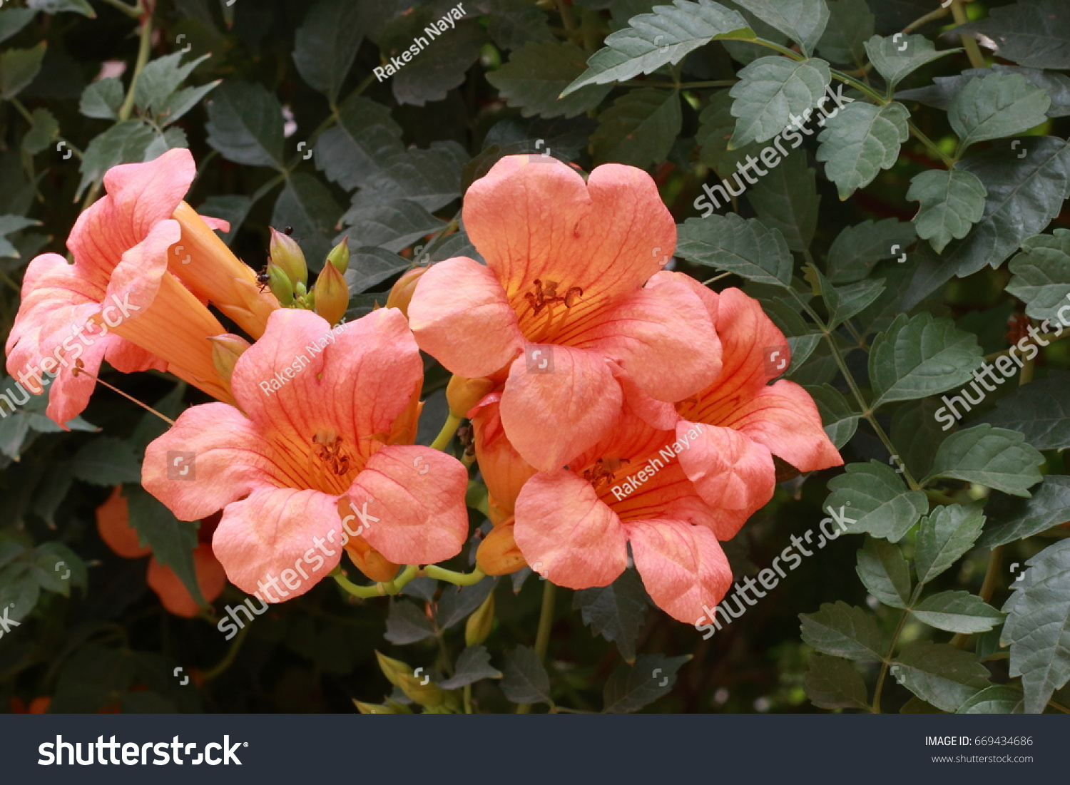 Few Orange Bell Shaped Flowers Ticoma Stock Photo Edit Now