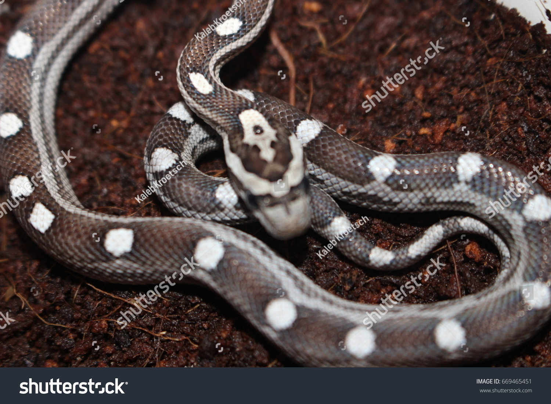 Dark Motley Patterned Corn Snake Baby Stock Photo (Edit Now