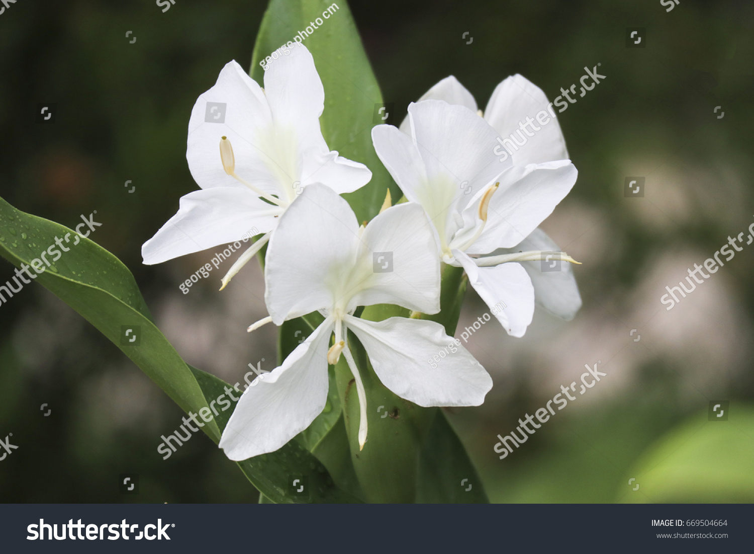 White Butterfly Lily In The Garden Garland Flower Or White Ginger