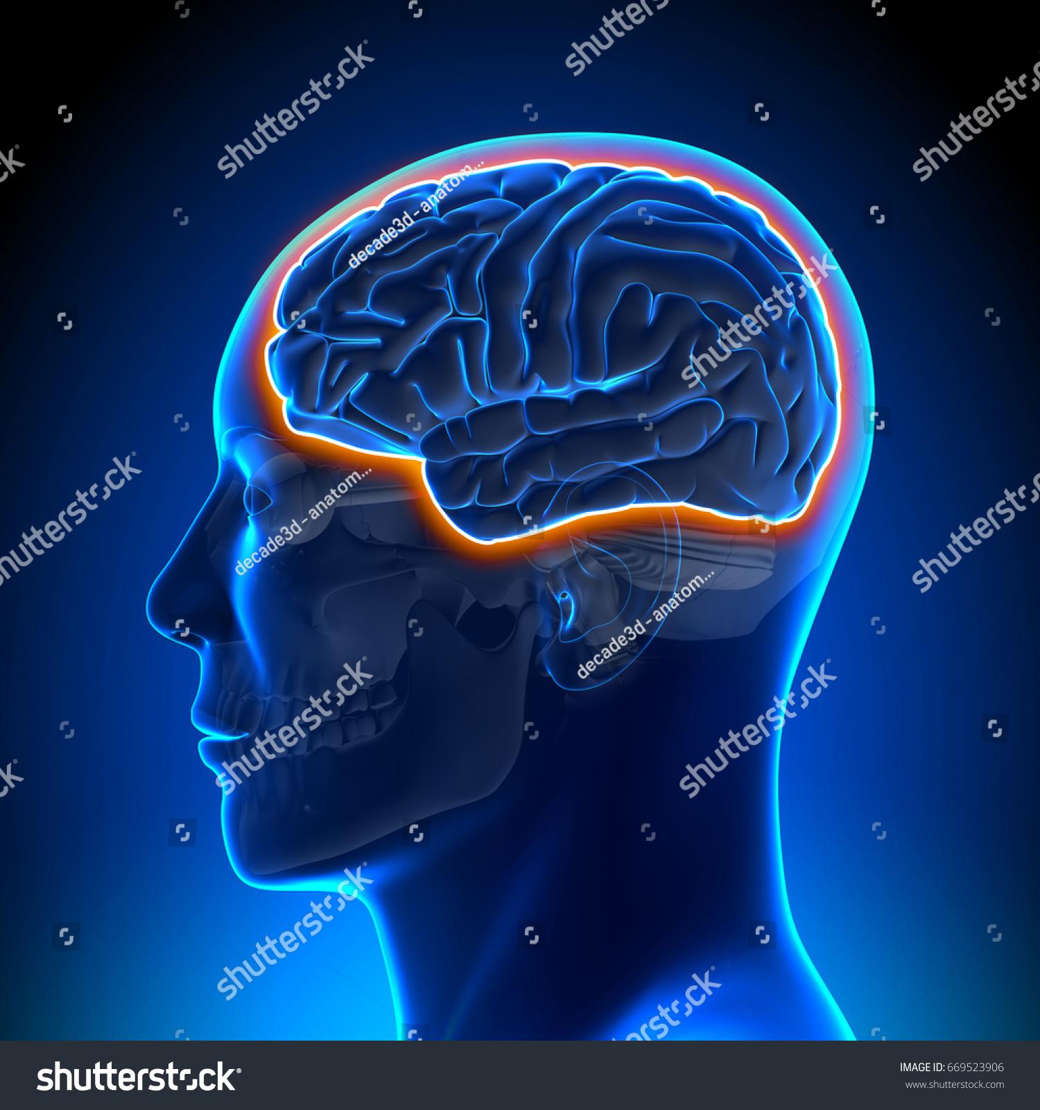 Blood Brain Barrier Male Head Anatomy Stock Illustration 669523906 ...
