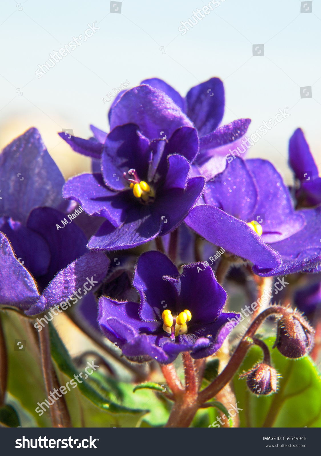 Beautiful African Violet Flowers Stock Photo Royalty Free
