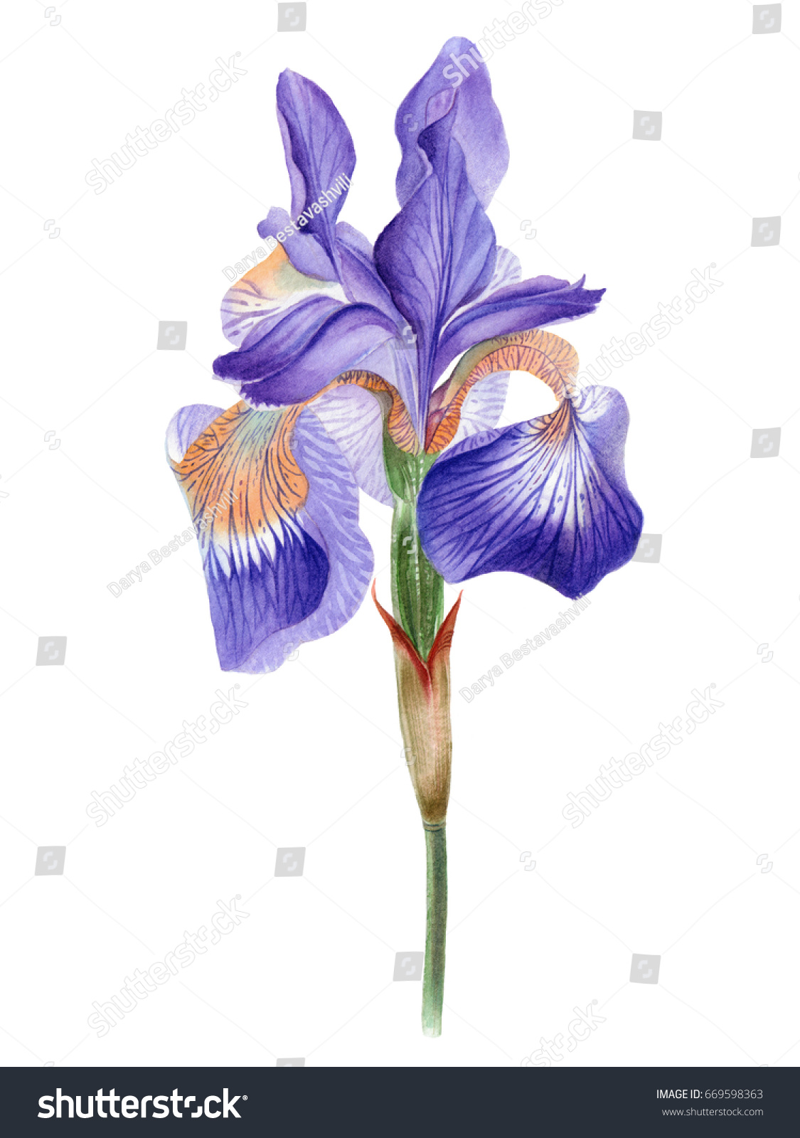 Watercolor hand painted iris flower can be used as romantic watercolor hand painted iris flower can be used as romantic background for web pages wedding invitations greeting cards postcards textile design izmirmasajfo