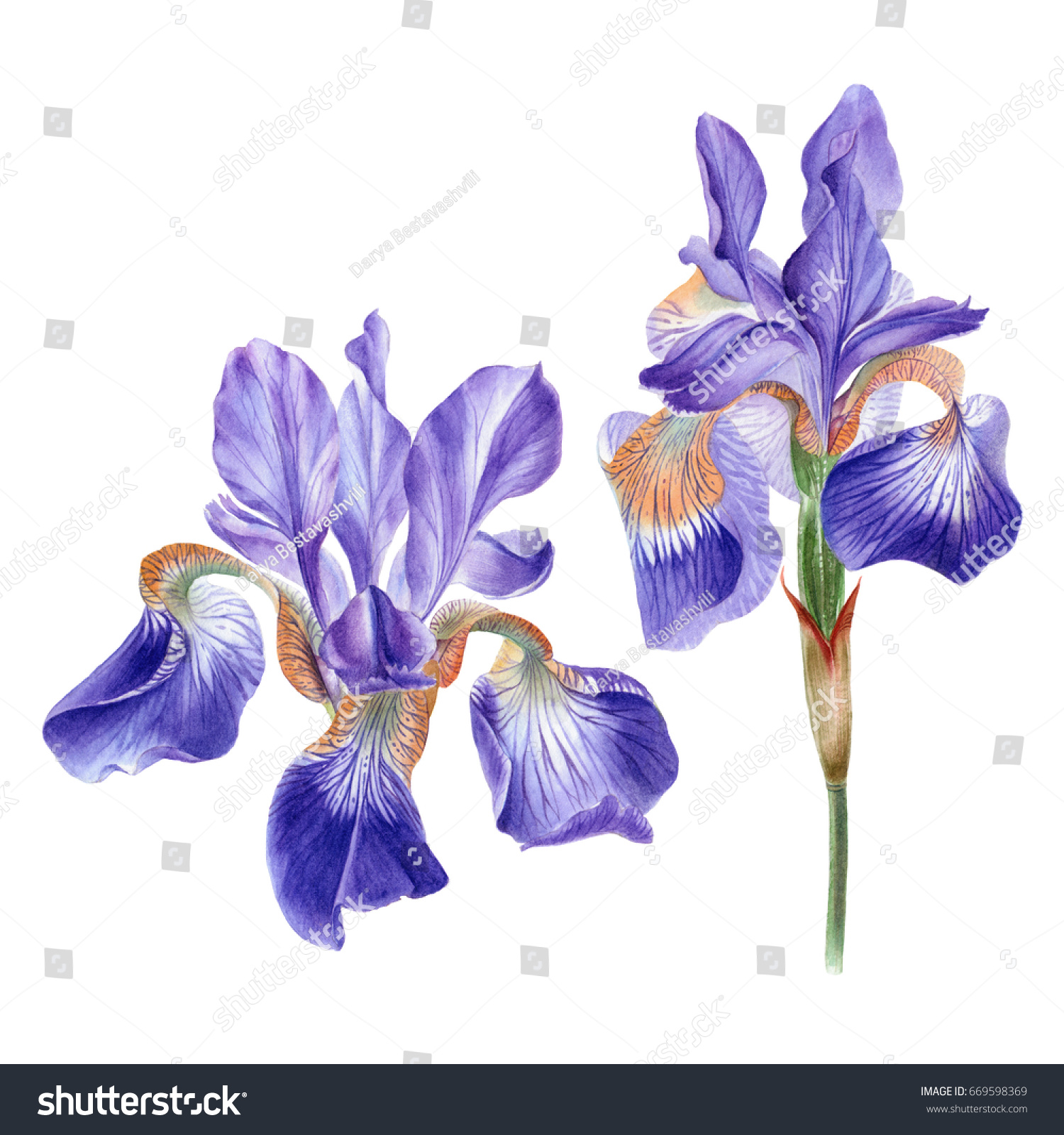 Watercolor Hand Painted Iris Flower Can Stock Illustration 669598369