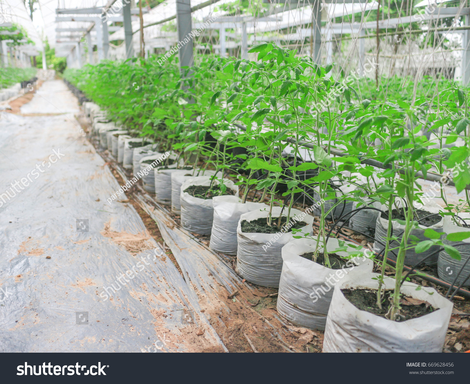 Planting Vegetable Garden Green Vegetable Rows Beautiful. Biochemical  Experiments Specialized Education The Development Of The