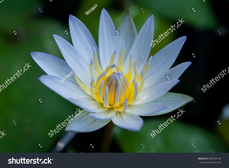 Beautiful Lotus Flower Ez Canvas