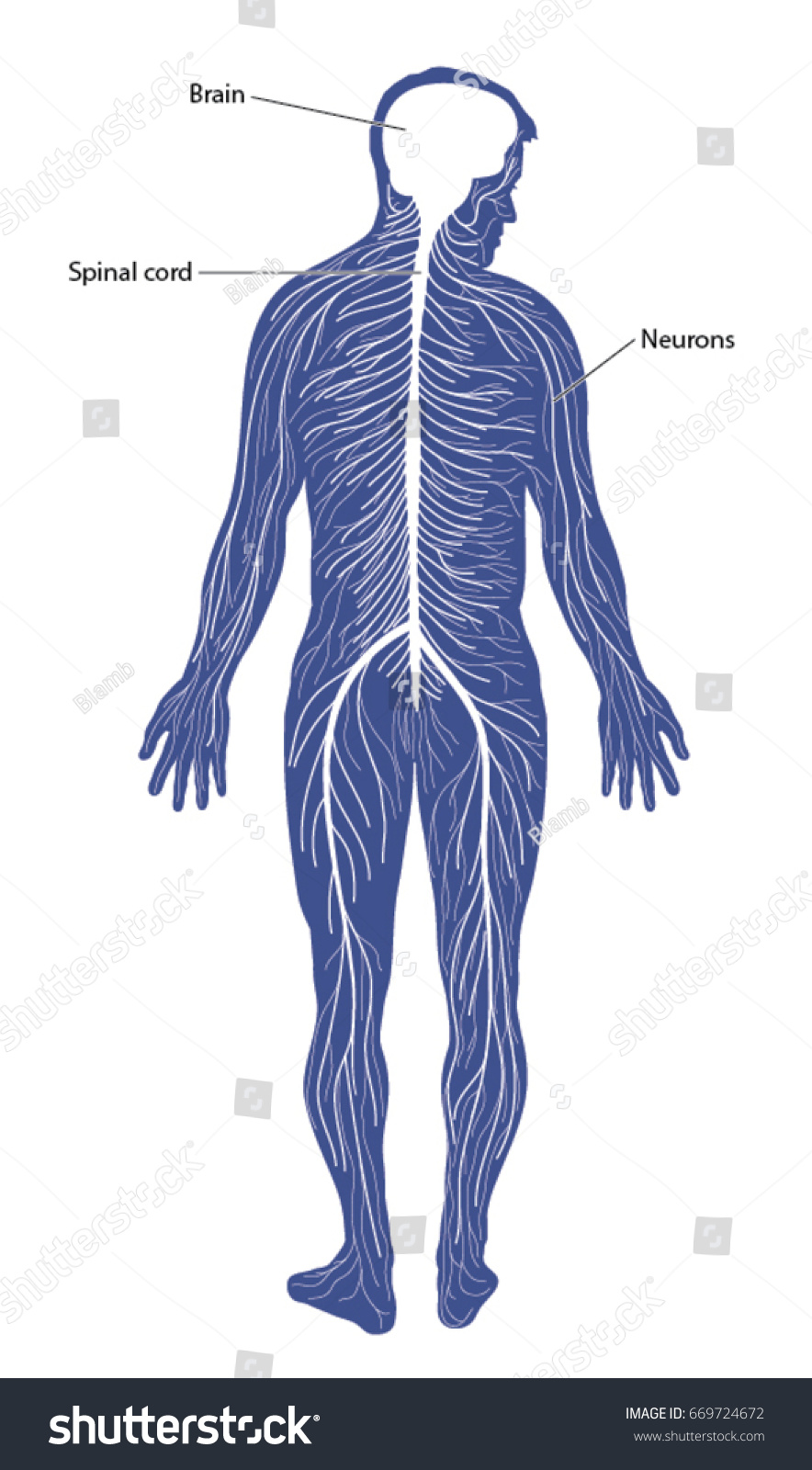 Schematic diagram nervous system comprising brain stock vector schematic diagram of the nervous system comprising of the brain spinal cord and peripheral ccuart Gallery