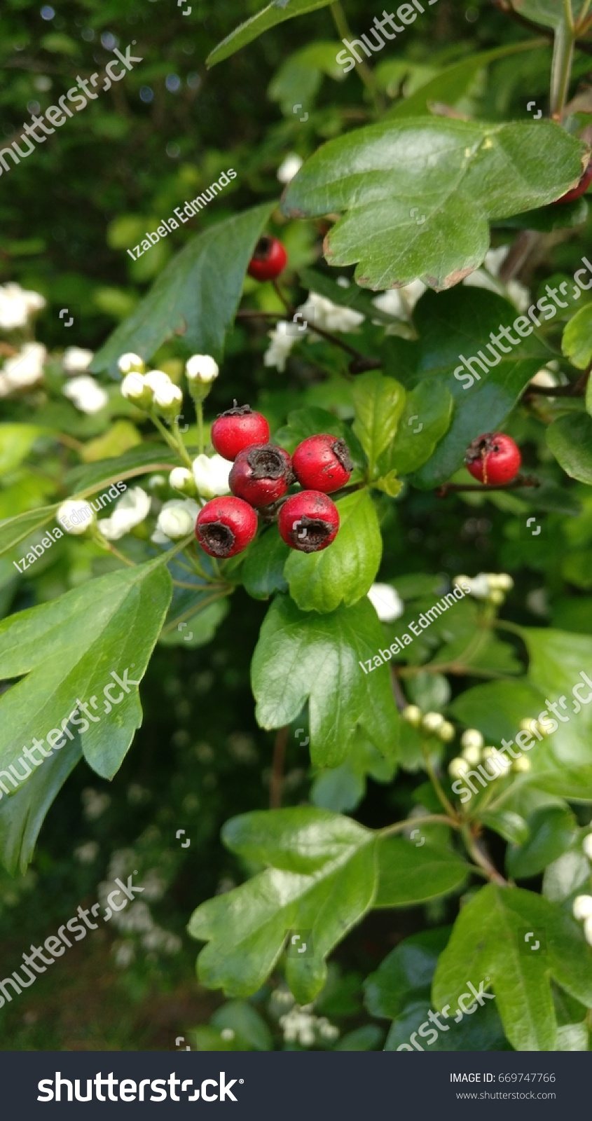Red berries and thorny green leaves of a holly plant ez canvas mightylinksfo