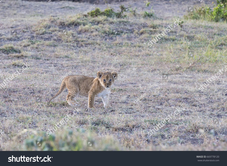 stock-photo-lion-cub-669778120.jpg