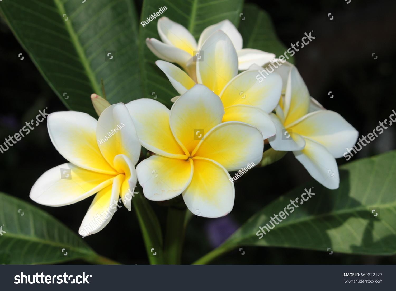 Yellow White Frangipani Flowers Or Plumeria Stock Photo Edit Now
