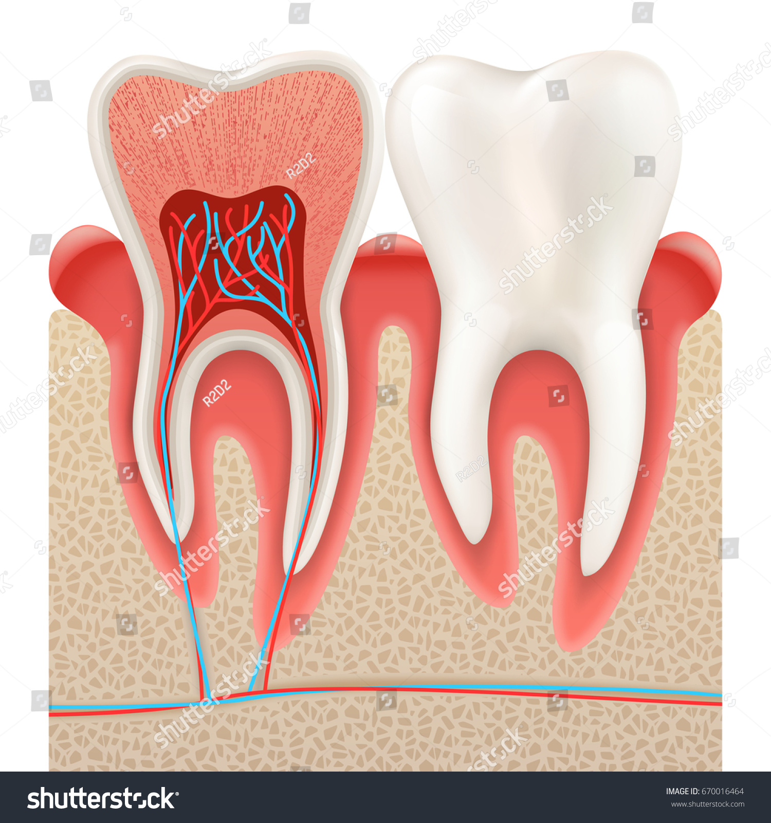 Dental Concept Human Teeth Tooth Anatomy Stock Vector (Royalty Free ...
