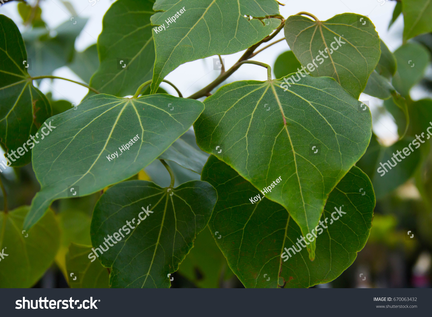 Closeup Of Thespesia Populnea Portia Heart Shaped Leaf On Tree Ez