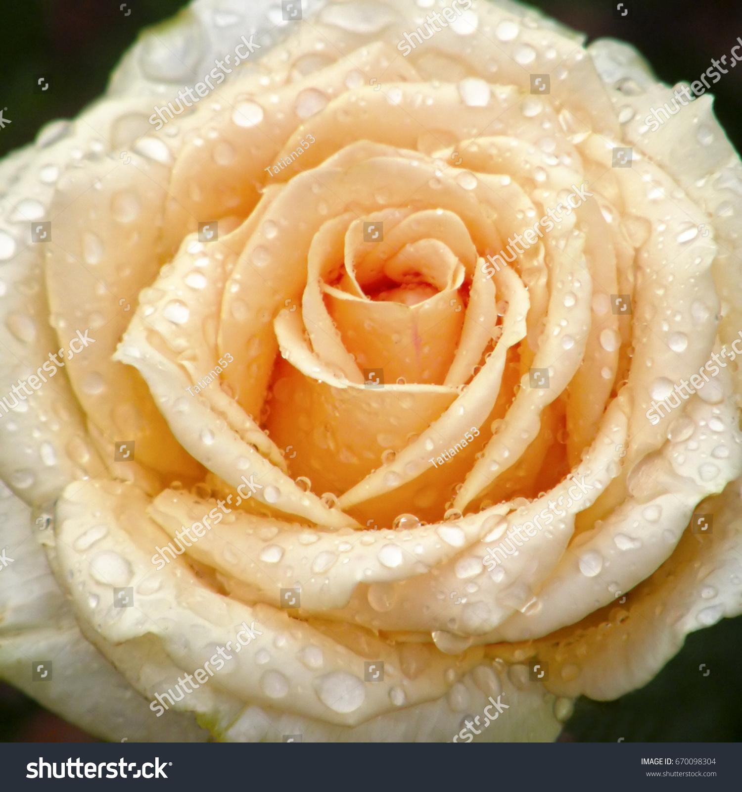Rose flower flowers very beautiful image stock photo royalty free rose flower flowers very beautiful image izmirmasajfo