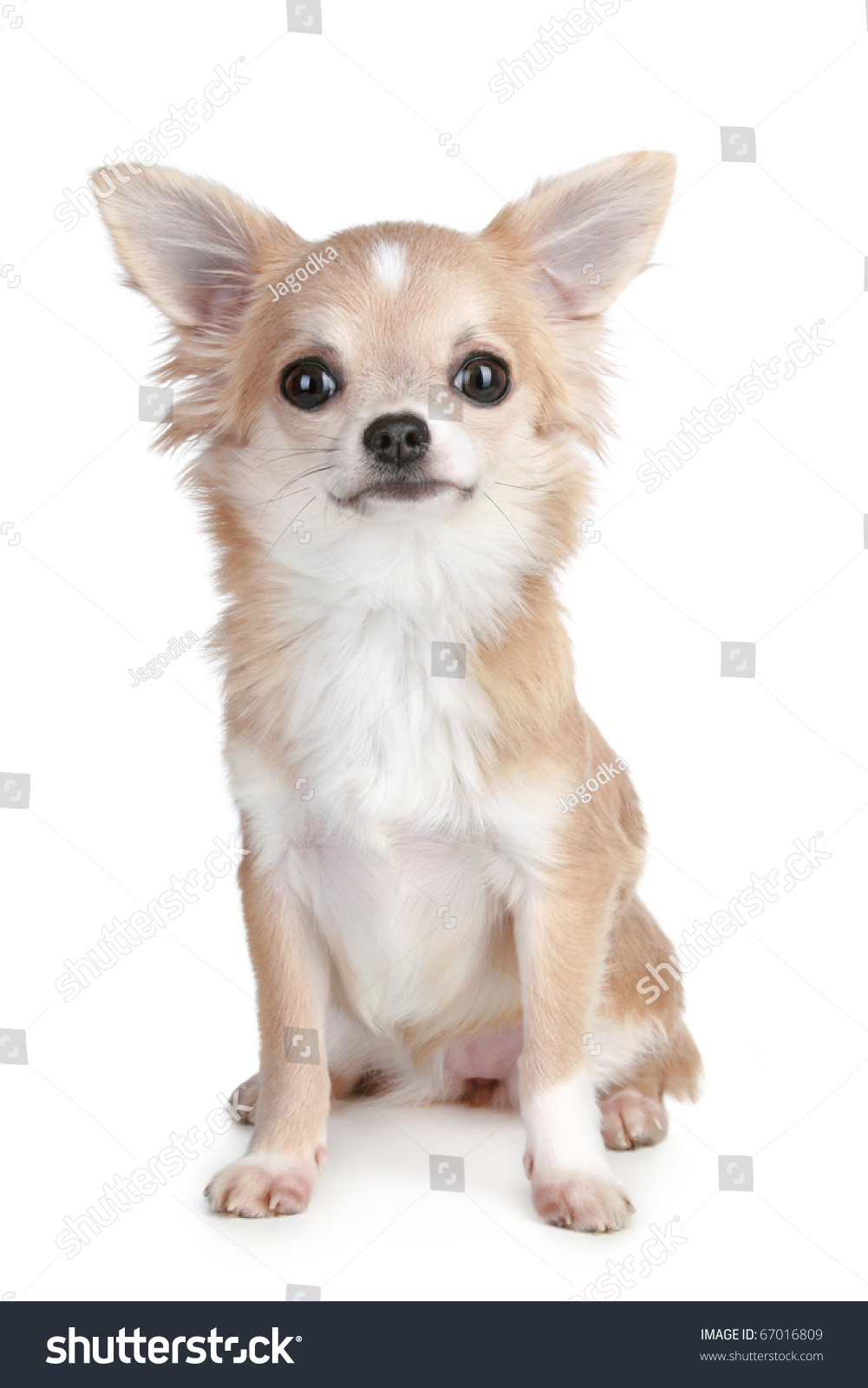 Lightbrown Chihuahua Puppy Sitting On White Stock Photo