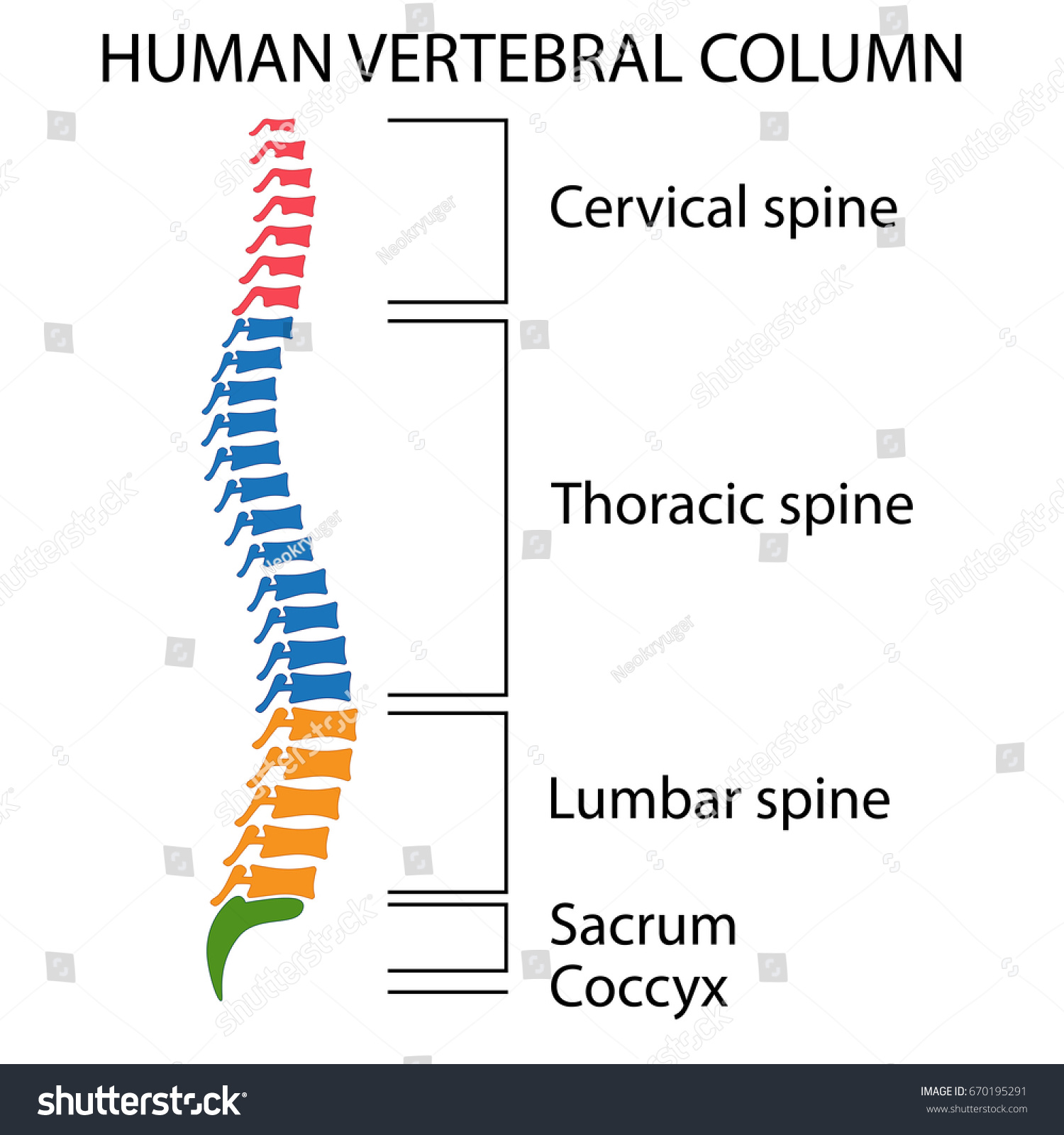 Diagram human spine names all sections stock vector 670195291 diagram of a human spine with names of all sections of the vertebrae pooptronica