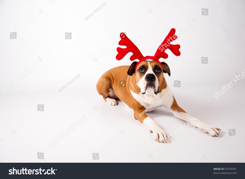 Cute Boxer Mix Female Dog Wearing Christmas Reindeer Antlers On ...