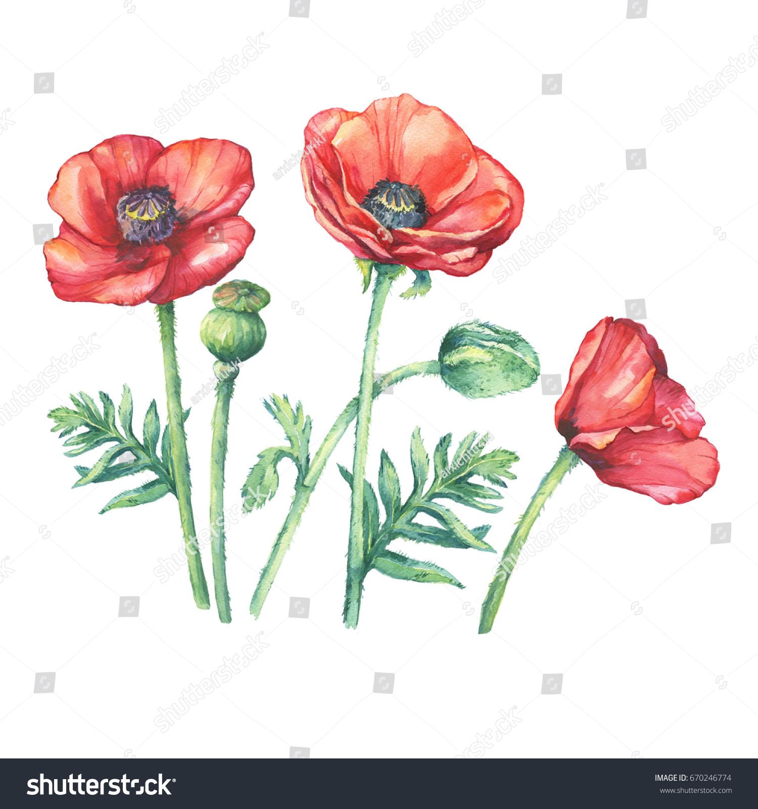 Set Flowering Red Poppies Flowers Papaver Stock Illustration