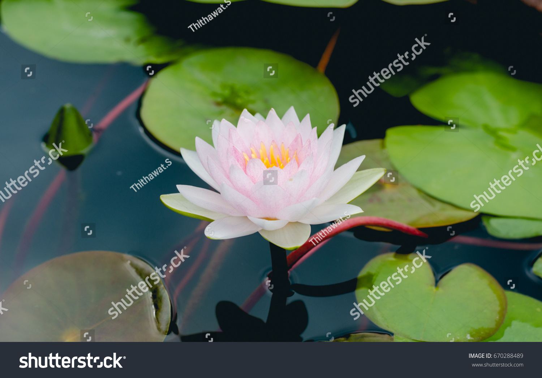 White Beautiful Lotus Flower Pond Stock Photo Edit Now 670288489