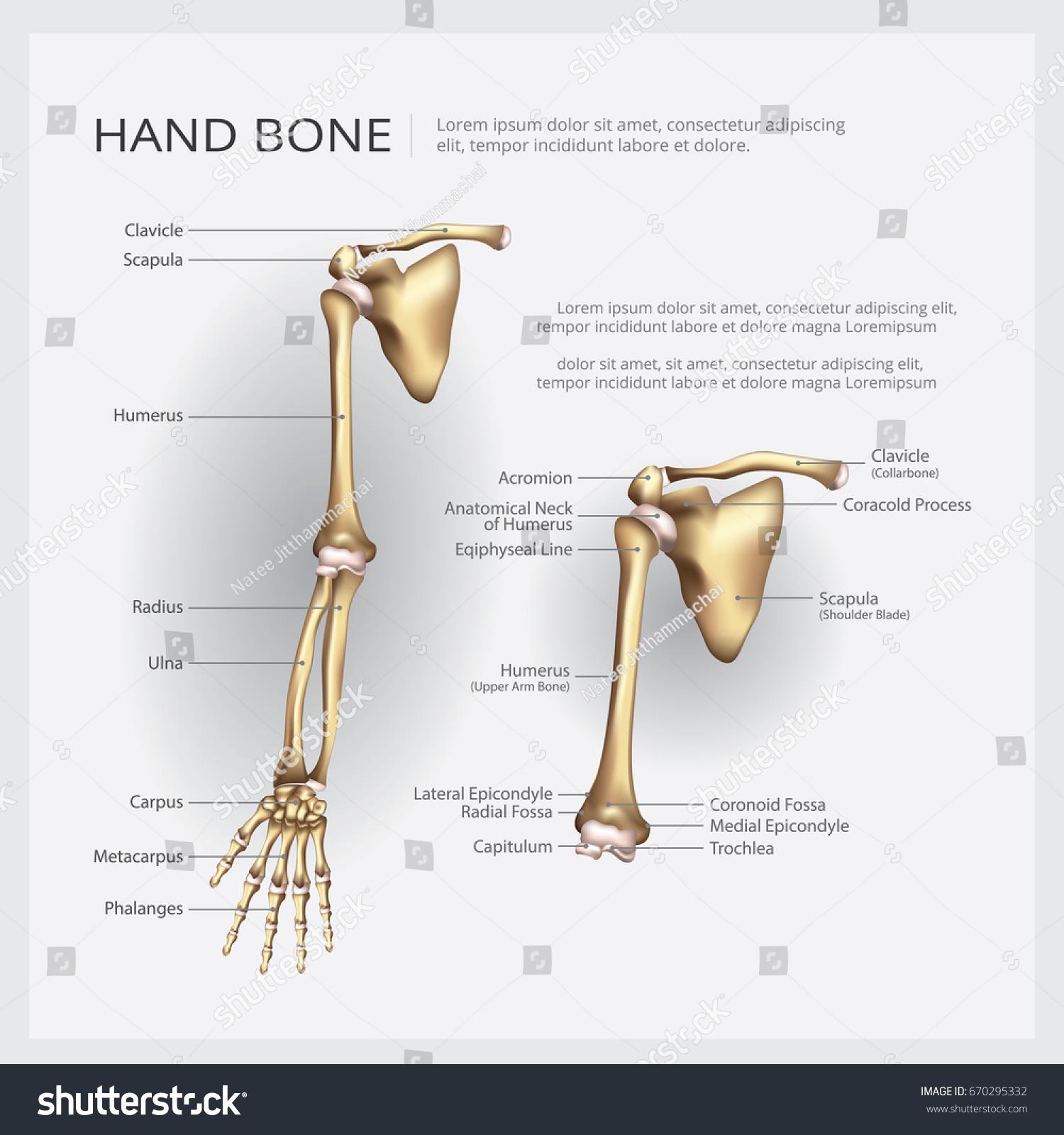 Arm Hand Bone Vector Illustration Stock Vector 670295332 - Shutterstock