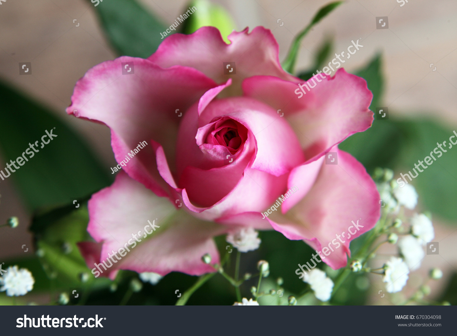 Beautiful White Pink Rose Surrounded By Stock Photo 670304098