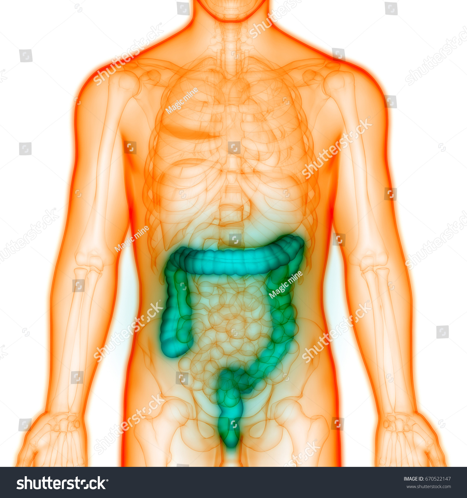 Human Digestive System Anatomy Large Intestine Stock Illustration ...