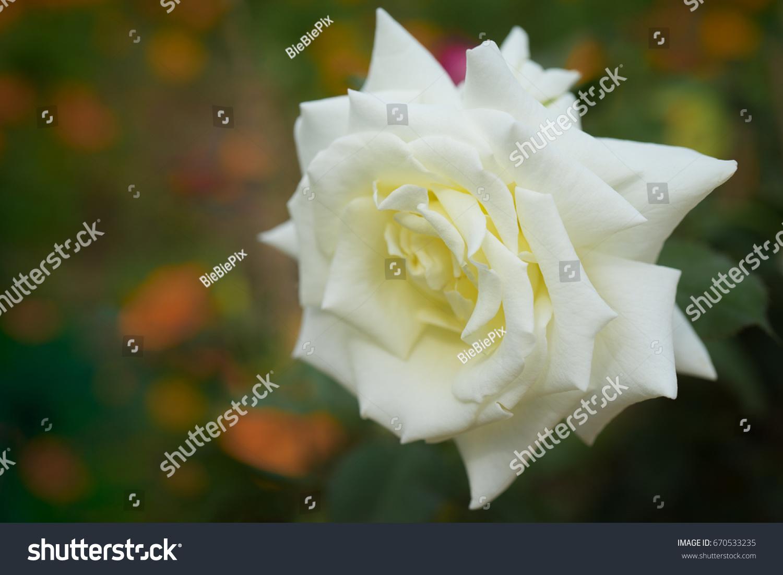Beautiful White Rose Full Bloom Flower Stock Photo - Colorful flower garden background