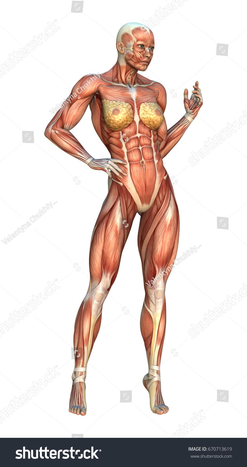3 D Rendering Female Figure Muscle Maps Stock Illustration 670713619 ...