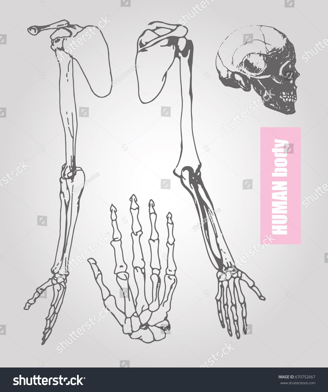 Human Body Anatomy Medical Illustration Human Stock Vector (Royalty ...