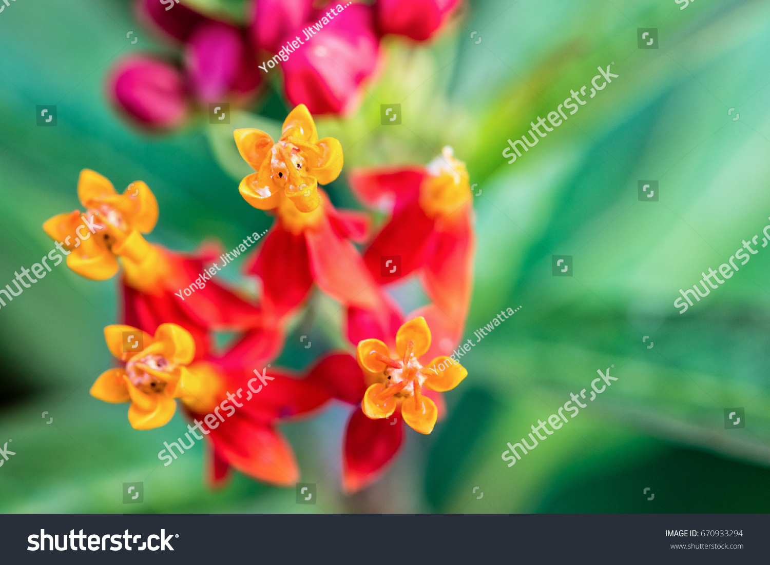 Closeup beautiful exotic flowers yellow pollen stock photo 670933294 closeup beautiful and exotic flowers are yellow pollen red petal of asclepias curassavica common names scarlet izmirmasajfo