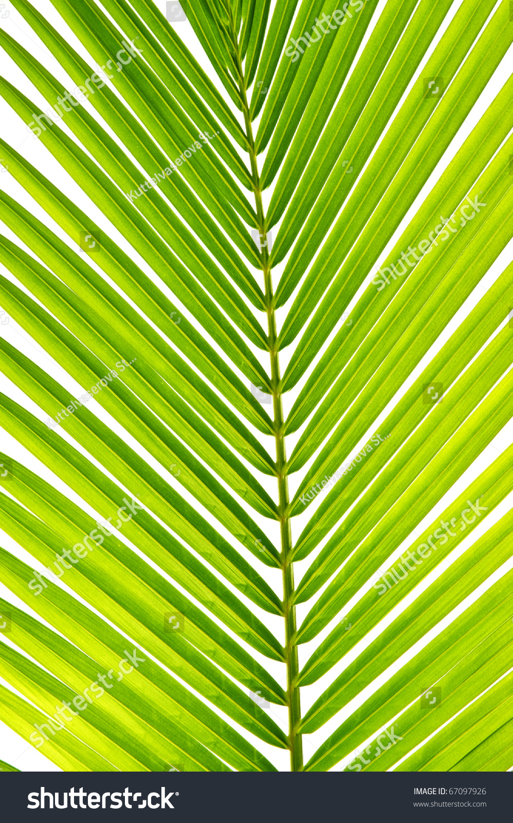 Palm Leaf Coconut Tree Stock Photo 67097926 : Shutterstock